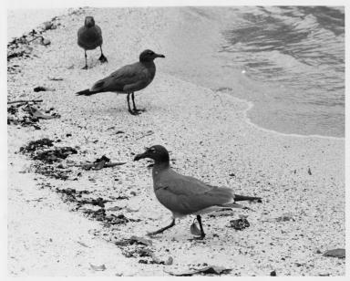 Three Sooty Gulls