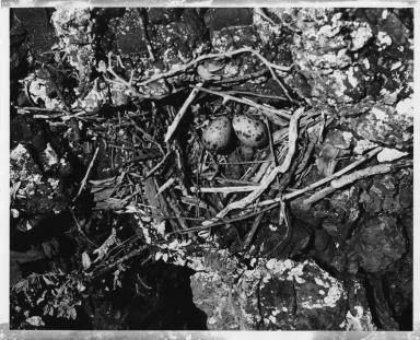 Sooty Gull eggs