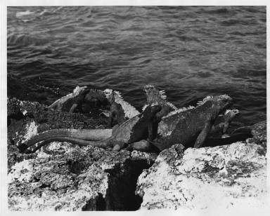 Seven Marine Iguanas