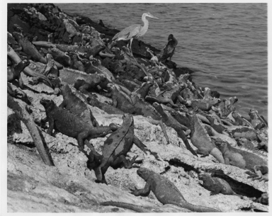 Mess of Marine Iguana