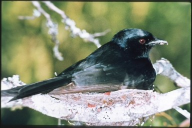 Fork-tail drongo
