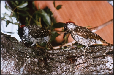 Golden-tailed woodpeckers