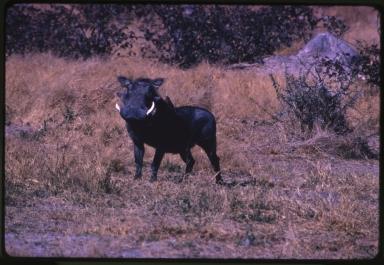 Warthogs (Phacochoerus africanus)
