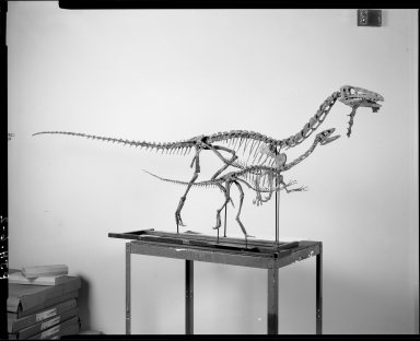Fossil skeletons of Theropod dinosaurs
