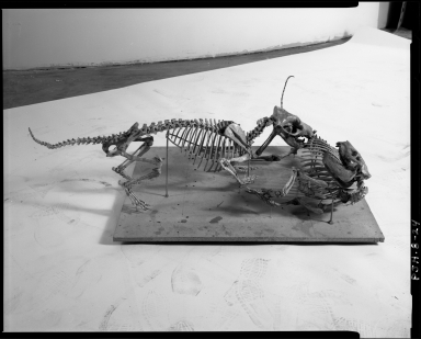 Fossil Creodont and Oreodont skeletons