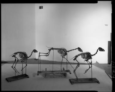 Fossil skeletons of 3 gazelle camels