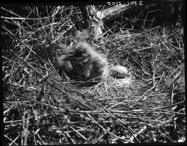 Black-crowned night heron chick