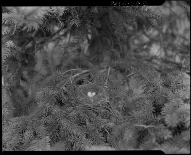 Pine siskin nest