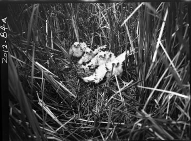 Marsh hawk chicks