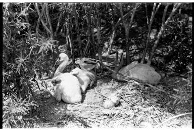 Pelican chicks and eggs on a nest