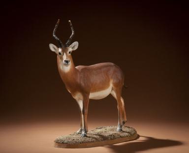 Lechwe, aka antelope