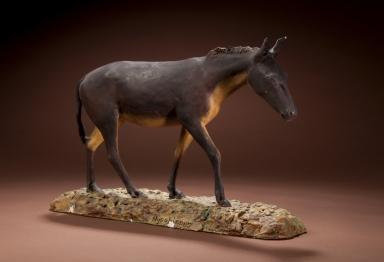 Horse Hypohippus