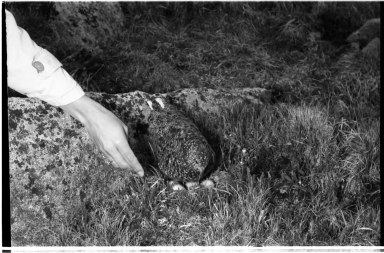 Patricia Bailey Witherspoon and Ptarmigan and Nest