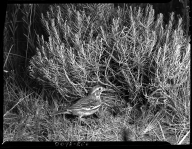 Lark Bunting with young and nest