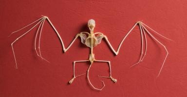 Brazilian free tailed bat skeleton