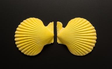Mimachlamys asperrima shell
