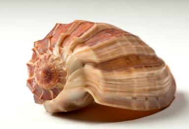 Harpa crenata shell