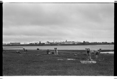 Working dogs in Barrow
