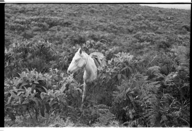 Horse on Santa Cruz Island, Galapagos Islands