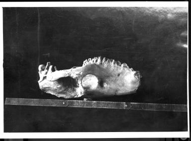 Fossil skulls