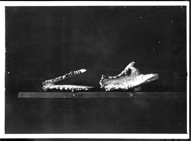 Fossil skull & mandible