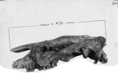 Tanyorhinus bridgeri skull
