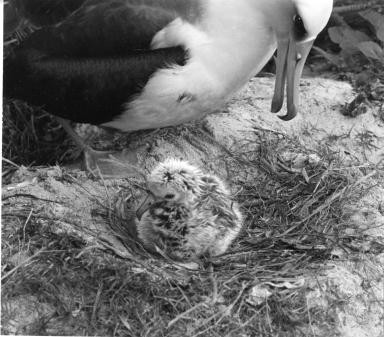 Allbatros with chick on a nest