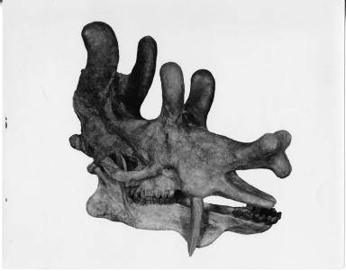 Uintacolotherium blayneyi skull