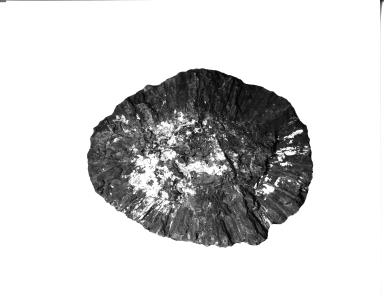 Fossil Cycad