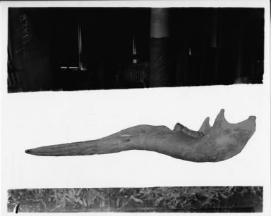 Trilophodon hicksi mandible