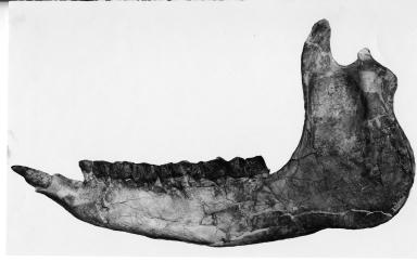 Trigonias mandible