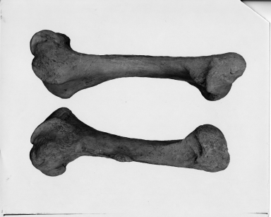 Teleoceras and Aphelops femurs