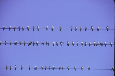 Flock of Cliff Swallows