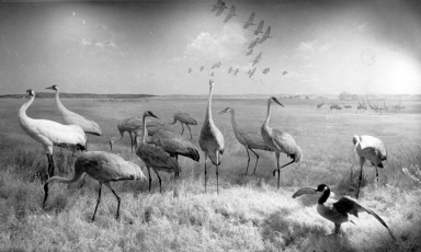 Old Whooping Crane group