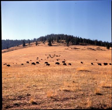 Herd of American Bison