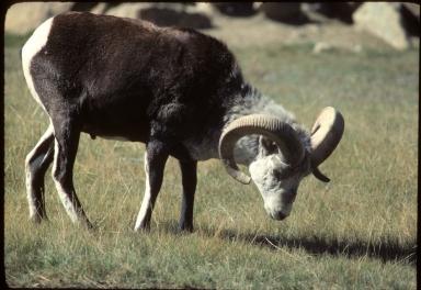 Dall's (or Dall) Sheep