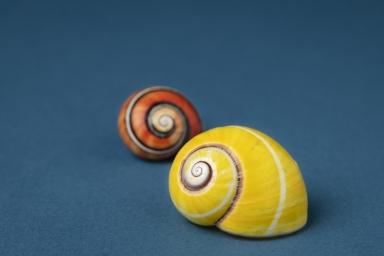 Shell, polymita-picta