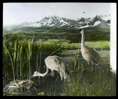 Sandhill Crane Exhibit
