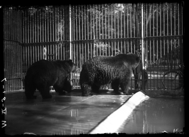 Grizzly Bear at the Zoo
