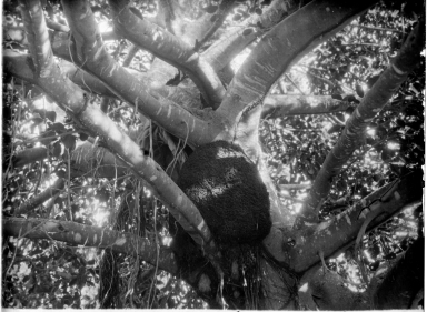 Primate sleeping in a tree