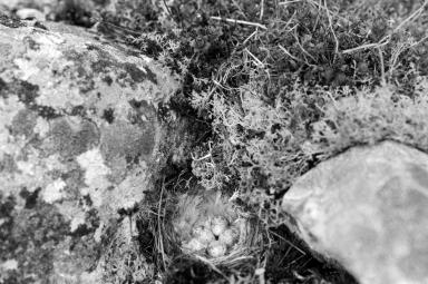 Snow Bunting Nest