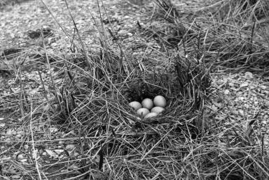 Duck Nest