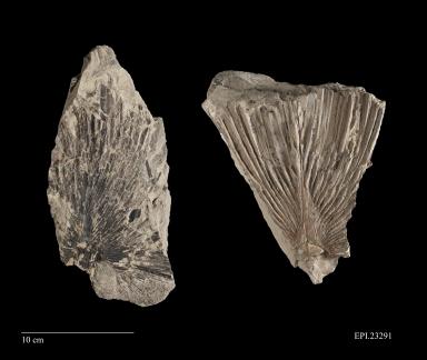 Fossil leaf, Sabalites sp