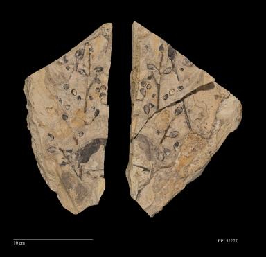 Nyssidium arcticum, Fossil leaf