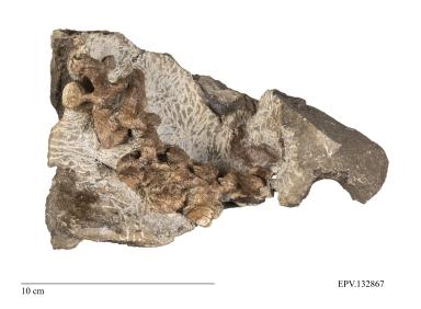 Turtle vertebrae