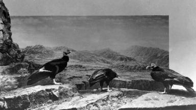California Condor Group