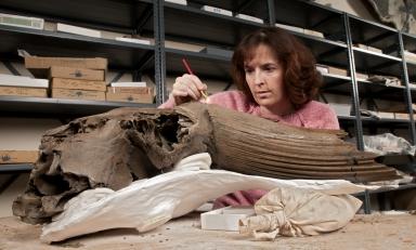 Cleaning bison skull from Snomastadon Excavation in Plaeo Lab