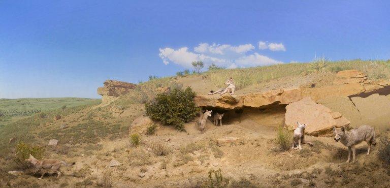 Coyote Diorama