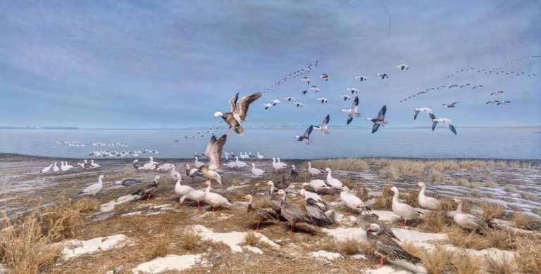 Blue and Snow Geese diorama