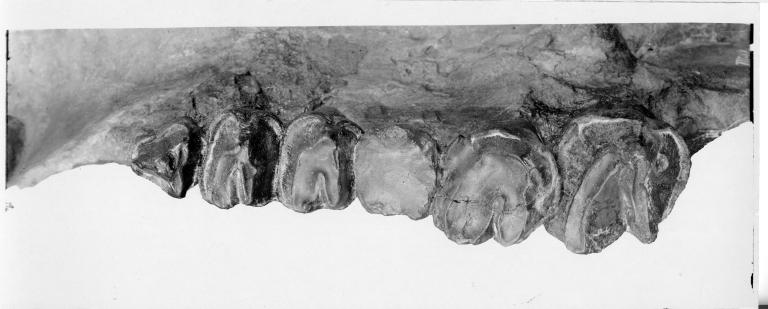 Uintacolotherium blayneyi molars